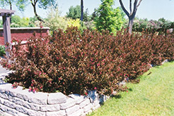 Wine and Roses® Weigela (Weigela florida 'Alexandra') at Green Thumb Garden Centre