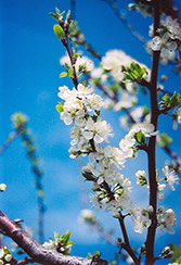 Mount Royal Plum (Prunus 'Mount Royal') at Green Thumb Garden Centre