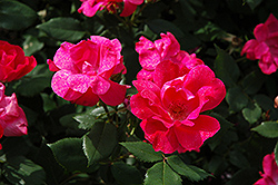 Knock Out® Rose (Rosa 'Radrazz') at Green Thumb Garden Centre