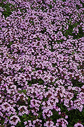Red Creeping Thyme (Thymus praecox 'Coccineus') at Green Thumb Garden Centre