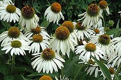 White Swan Coneflower (Echinacea purpurea 'White Swan') at Green Thumb Garden Centre