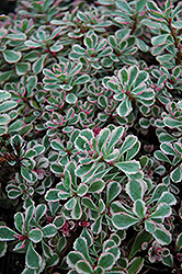 Tricolor Stonecrop (Sedum spurium 'Tricolor') at Green Thumb Garden Centre