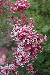 Tinkerbelle Lilac (Syringa 'Tinkerbelle') at Green Thumb Garden Centre