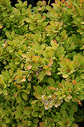 Sunsation Japanese Barberry (Berberis thunbergii 'Sunsation') at Green Thumb Garden Centre