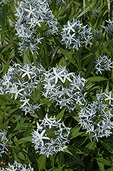 Blue Star Flower (Amsonia tabernaemontana) at Green Thumb Garden Centre