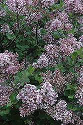 Dwarf Korean Lilac (Syringa meyeri 'Palibin') at Green Thumb Garden Centre