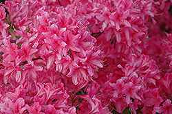 Rosy Lights Azalea (Rhododendron 'Rosy Lights') at Green Thumb Garden Centre