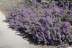 Walker's Low Catmint (Nepeta x faassenii 'Walker's Low') at Green Thumb Garden Centre