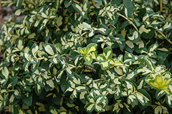 Moonshadow Wintercreeper (Euonymus fortunei 'Moonshadow') at Green Thumb Garden Centre