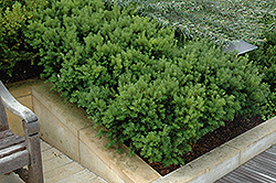 Dark Green Spreader Yew (Taxus x media 'Dark Green Spreader') at Green Thumb Garden Centre