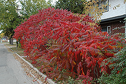 Staghorn Sumac (Rhus typhina) at Green Thumb Garden Centre