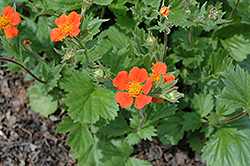 Boris Avens (Geum borisii) at Green Thumb Garden Centre
