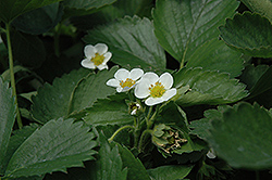 Everbearing Strawberry (Fragaria 'Everbearing') at Green Thumb Garden Centre