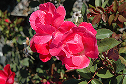 Pink Knock Out® Rose (Rosa 'Radcon') at Green Thumb Garden Centre