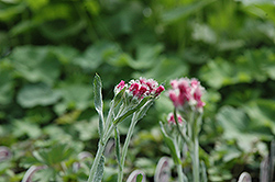 Red Pussytoes (Antennaria dioica 'Rubra') at Green Thumb Garden Centre