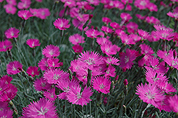 Firewitch Pinks (Dianthus gratianopolitanus 'Firewitch') at Green Thumb Garden Centre