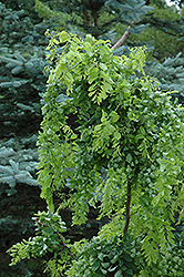 Twisted Baby® Black Locust (Robinia pseudoacacia 'Lace Lady') at Green Thumb Garden Centre