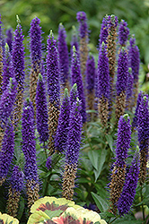Royal Candles Speedwell (Veronica spicata 'Royal Candles') at Green Thumb Garden Centre