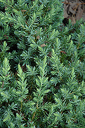 Blue Pacific Shore Juniper (Juniperus conferta 'Blue Pacific') at Green Thumb Garden Centre