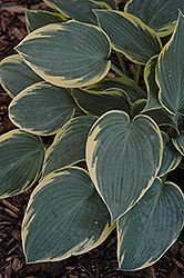 First Frost Hosta (Hosta 'First Frost') at Green Thumb Garden Centre