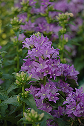 Freya Clustered Bellflower (Campanula glomerata 'Freya') at Green Thumb Garden Centre