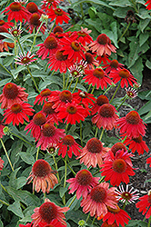 Sombrero® Salsa Red Coneflower (Echinacea 'Balsomsed') at Green Thumb Garden Centre