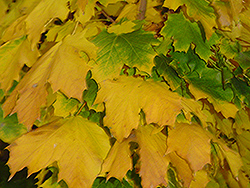 Columnar Norway Maple (Acer platanoides 'Columnare') at Green Thumb Garden Centre