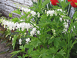 White Bleeding Heart (Dicentra spectabilis 'Alba') at Green Thumb Garden Centre