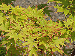 Coral Bark Japanese Maple (Acer palmatum 'Sango Kaku') at Green Thumb Garden Centre