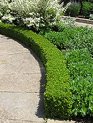 Green Velvet Boxwood (Buxus 'Green Velvet') at Green Thumb Garden Centre