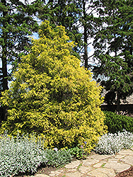 Golden Threadleaf Falsecypress (Chamaecyparis pisifera 'Filifera Aurea') at Green Thumb Garden Centre
