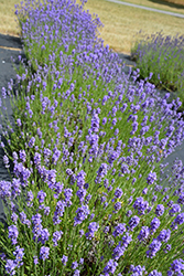Hidcote Blue Lavender (Lavandula angustifolia 'Hidcote Blue') at Green Thumb Garden Centre