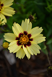 UpTick™ Cream and Red Tickseed (Coreopsis 'Balupteamed') at Green Thumb Garden Centre