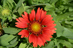 Mesa Red Blanket Flower (Gaillardia x grandiflora 'Mesa Red') at Green Thumb Garden Centre