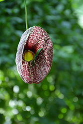 Dutchman's Pipe (Aristolochia macrophylla) at Green Thumb Garden Centre