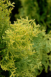Amber Gold Arborvitae (Thuja occidentalis 'Amber Gold') at Green Thumb Garden Centre