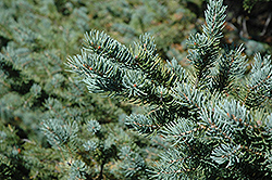 White Spruce (Picea glauca) at Green Thumb Garden Centre