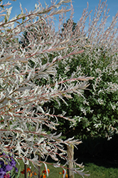 Tricolor Willow (tree form) (Salix integra 'Hakuro Nishiki (tree form)') at Green Thumb Garden Centre