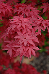Twombly's Red Sentinel Japanese Maple (Acer palmatum 'Twombly's Red Sentinel') at Green Thumb Garden Centre