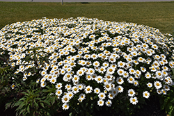 Becky Shasta Daisy (Leucanthemum x superbum 'Becky') at Green Thumb Garden Centre