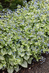 Jack Frost Bugloss (Brunnera macrophylla 'Jack Frost') at Green Thumb Garden Centre