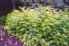 False Spirea (Sorbaria sorbifolia) at Green Thumb Garden Centre
