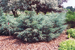 Savin Juniper (Juniperus sabina) at Green Thumb Garden Centre