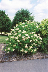 American Elder (Sambucus canadensis) at Green Thumb Garden Centre