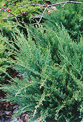 Sea Green Juniper (Juniperus chinensis 'Sea Green') at Green Thumb Garden Centre