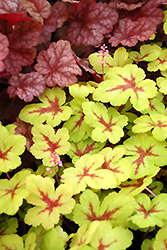 Sunspot Foamy Bells (Heucherella 'Sunspot') at Green Thumb Garden Centre