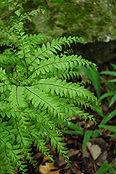 Northern Maidenhair Fern (Adiantum pedatum) at Green Thumb Garden Centre