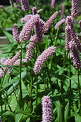 Pink Snakeweed (Persicaria bistorta 'Superba') at Green Thumb Garden Centre