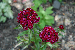 Sweet William (Dianthus barbatus) at Green Thumb Garden Centre