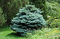 Globe Blue Spruce (Picea pungens 'Globosa') at Green Thumb Garden Centre